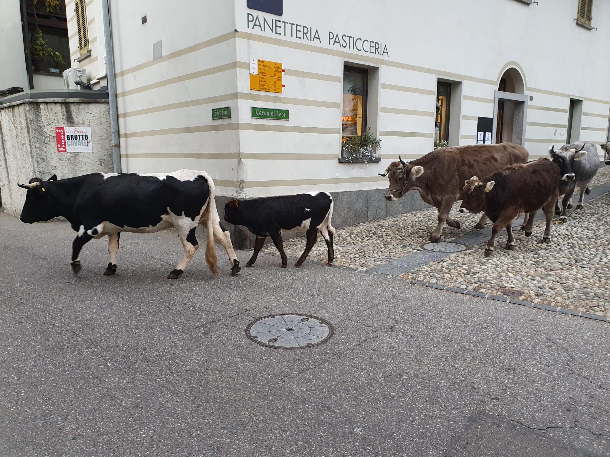 Mucche che passano in paese